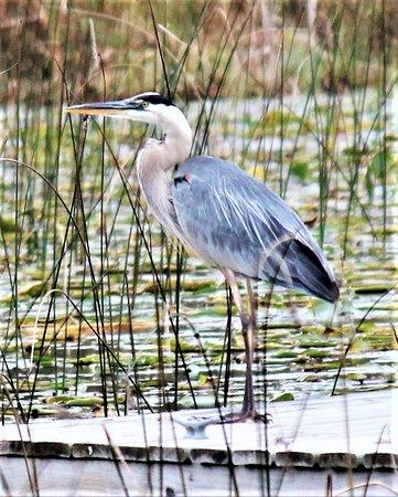 Hackensack, Миннесота: Great blue heron.