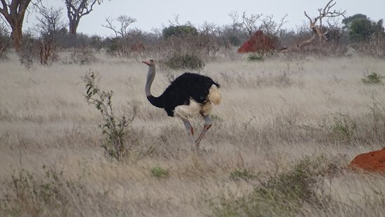 Wildlife Safari Exploreans Day Trips: Ostrich, Tsavo East National Park
