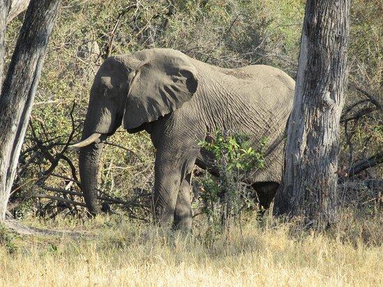 lots of elephants in botswana マウン bush ways safarisの写真