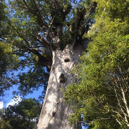 Tane Mahuta Walk: photo0.jpg