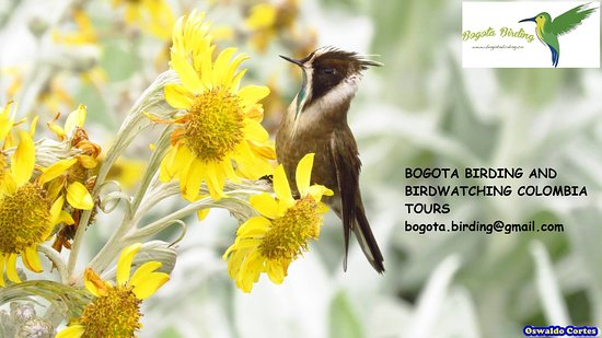 Bogota Birding and Birdwatching Colombia Tours