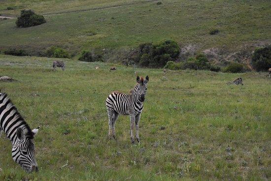 Lake Eland Game Reserve, Republika Południowej Afryki: Zebra