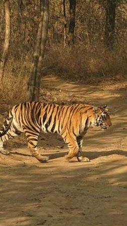 Panna Tiger Reserve, الهند: tiger 