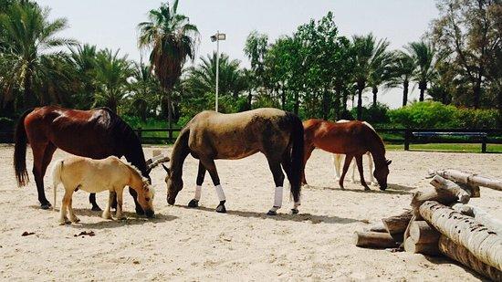 Jebel Ali, สหรัฐอาหรับเอมิเรตส์: JA Equestrian Horses enjoying some rest time.