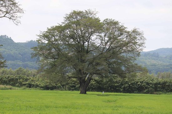 Harunire Tree