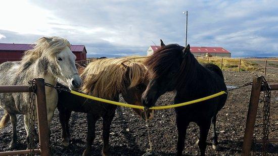Budardalur, IJsland: A few of the horses at Dalahestar