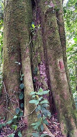 Reserva Bosque Nuboso Santa Elena: Ficus tree