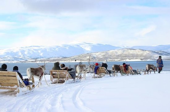 Reindeer Feeding, Sami Culture, and...