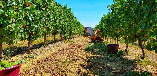 Pouzolles, Francja: Les vendanges du chardonnay
