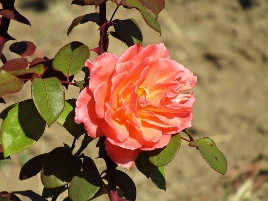 Tineretului Park: Rosen im Oktober