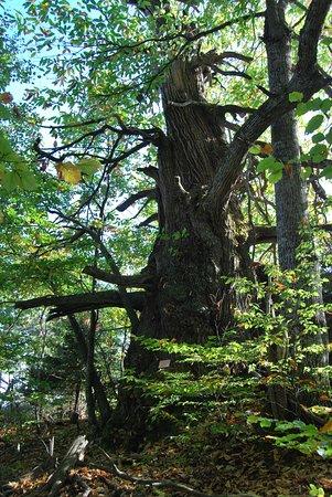 Pieria Region, اليونان: γέρικο δέντρο