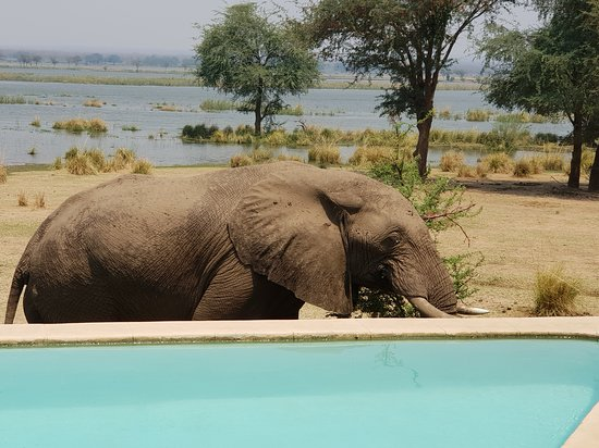 Lower Zambezi National Park, Ζάμπια: Ele by the pool
