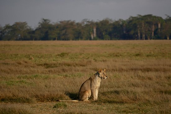 Alexander Africa Safaris - Day Tour: Lioness waiting to cross the road