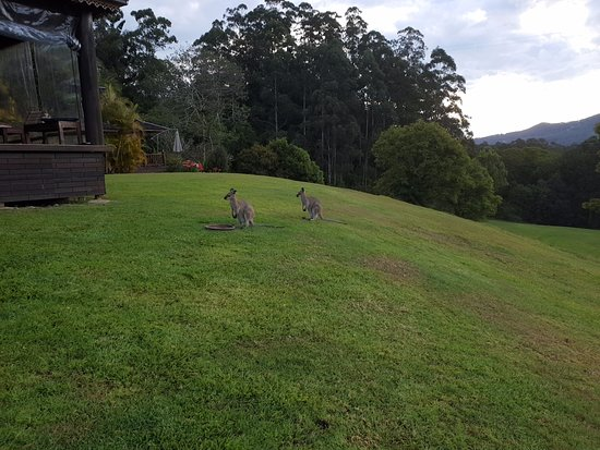 Mount Burrell, Australia: Wallabies
