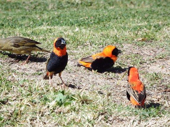 Cederberg, แอฟริกาใต้: Birds very sociable