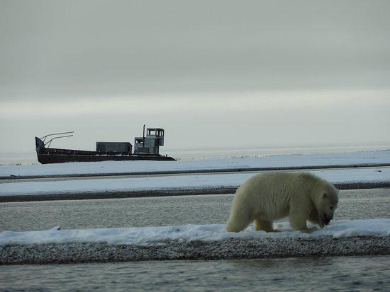 Kaktovik's polar bears