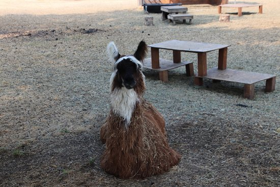 Old Faithful Geyser of California: Another llama