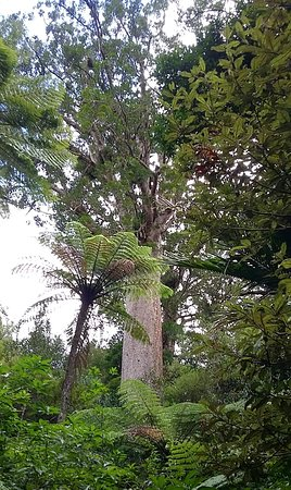 Tauranga, New Zealand: The large Kauri tree at the end of the track