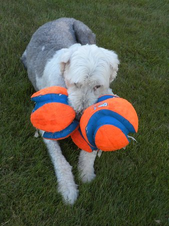 Sugar Hill, NH: Dudley with his three balls...and he is sure they are his!