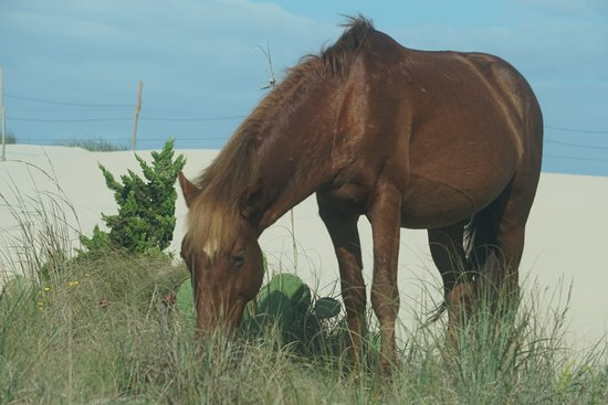 Bay mare grazing on a patch of grass at Corolla Beach - Picture of