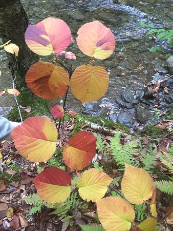 Roxbury, VT: Hobblebush turning colors