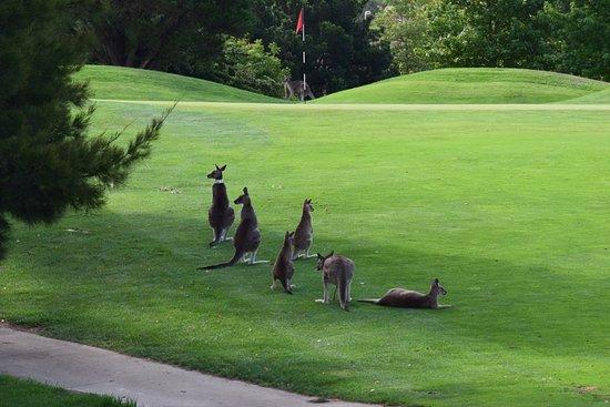 Nicholls, Australia: Kangaroos at Gold Creek Country Club, Canberra AUS