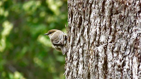 Chudleigh, Austrália: Dusky robin