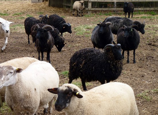 Lee Valley Park Farms: mixed breed sheep