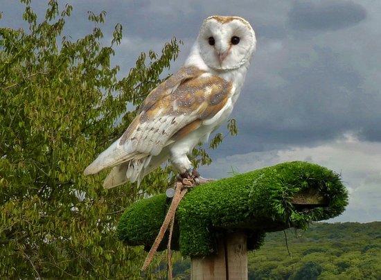 Lee Valley Park Farms: barn owl