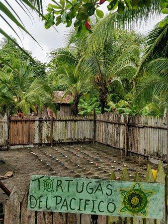 Tortugas Del Pacifico