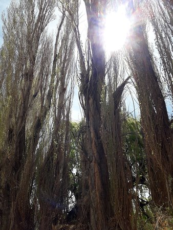 Parque Nacional El Leoncito: Álamos