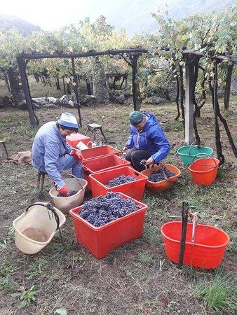 Carema, อิตาลี: La cernita dell'uva