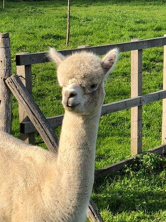 Wamel, Pays-Bas : Alpaca farm River Forelands