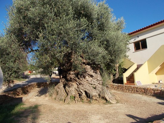 The Little Fun Train: Oldest Olive tree in Greece