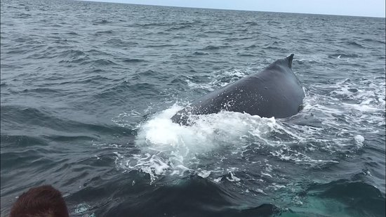 Tiverton, Kanada: An inquisitive Humpback about to go right under our Zodiac!