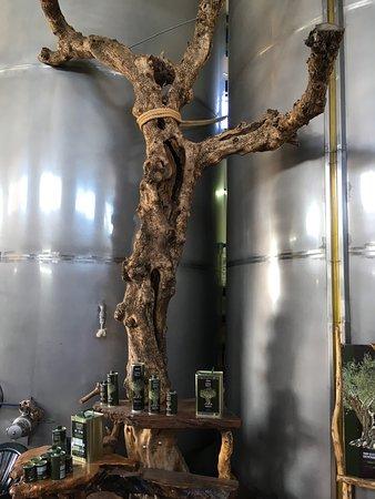 Lithakia, Greece: Régi oliva fatörzs
