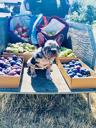 Mead, WA: Beatrix at Hidden Acres helping pick apples, pears, and plums.