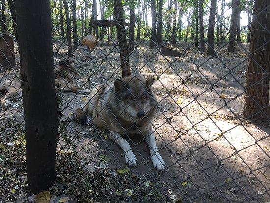 Veresegyház, Magyarország: Farkasok is vannak