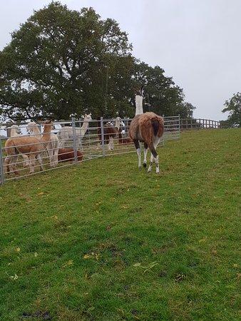 Middle England Farm Alpacas: 20181012_103804_large.jpg
