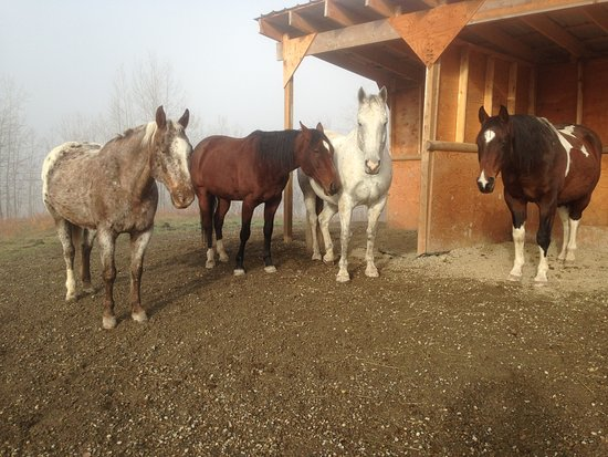 Prince George, Canada: 4 of my horses resting after breakfast on a foggy fall mornin, What color would you like to ride