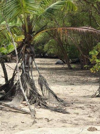 Curieuse Island, Seychellene: Skildpadde på tur i Mangroven