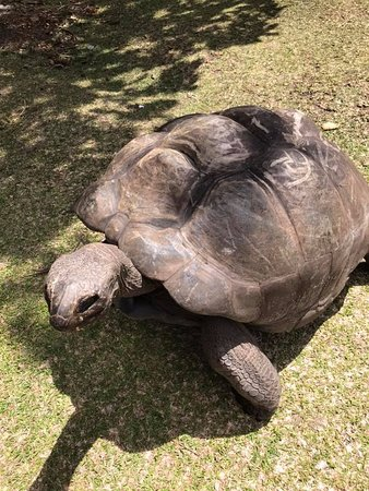 Curieuse Island, Seychellen: Smuk han skildpadde