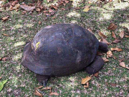 Curieuse Island, Seychellene: Fin hun skildpadde