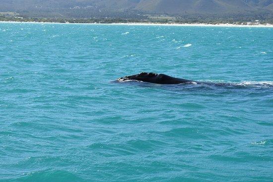 Kleinbaai, South Africa: DSC_0401_large.jpg