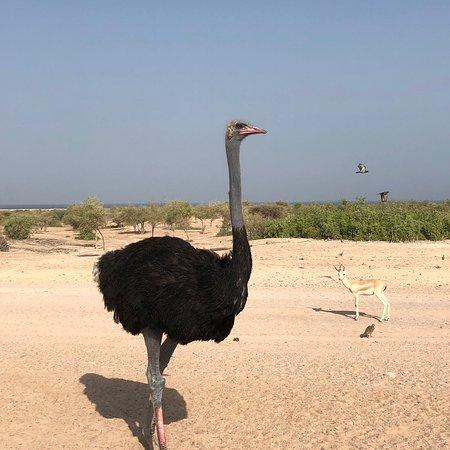Sir Bani Yas Island, Zjednoczone Emiraty Arabskie: photo9.jpg