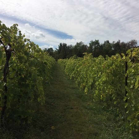Shelburne Vineyard: photo3.jpg