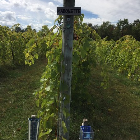 Shelburne Vineyard: photo4.jpg