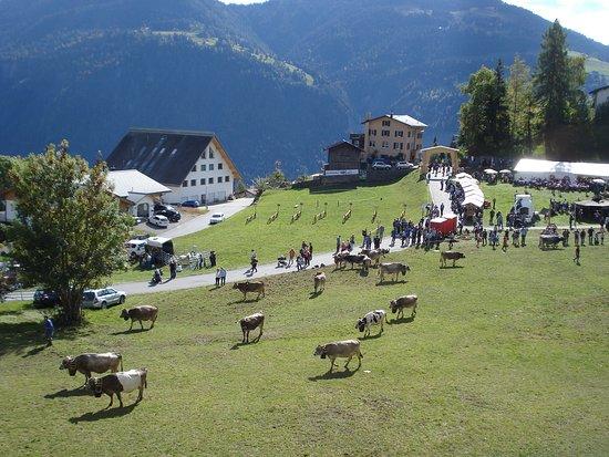Narzissenfelder in Seewis