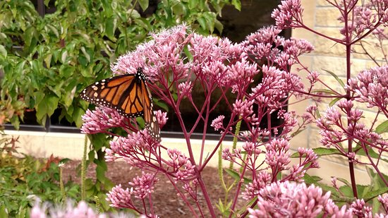 Saint Peter, MN: Monarch butterfly on a Joe Pye Weed plant in our native prairie plant landscape
