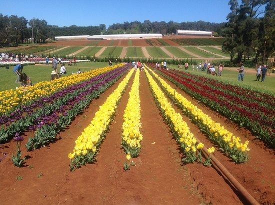 Silvan, Australia: Beautiful tulips